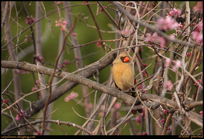 (12Mar09)  cardinal in redbud tree.  one year ago.  f/5.6, 1/400s, iso 640.